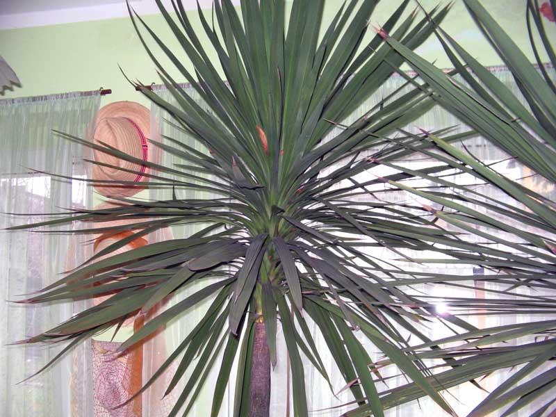 Le forum des fous de palmiers yucca ou cordyline - Cordyline feuilles qui jaunissent ...